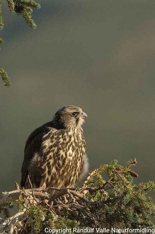 Ung jaktfalk ---- Young gyrofalcon ---- Falco rusticolus
