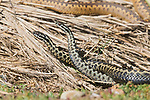 WEATHER:  Two male adders are spotted fighting over a female in Suffolk, UK by Paul Sawer