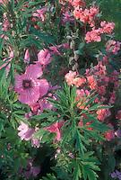 Lavatera trimestris, Clarkia Rosy Morn, Leonurus sibiricus, mixed annuals