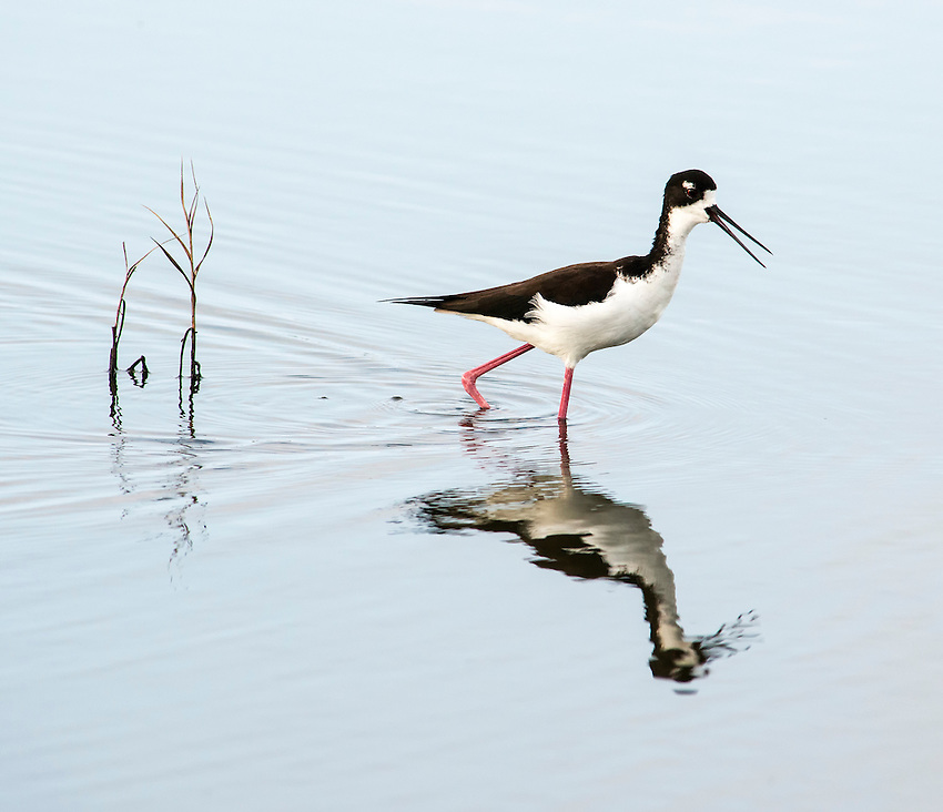Hawaiian black-necked stilt (Himantopus mexicanus knudseni), photographed at the Kealia Pond National Wildlife Refuge, Kihei, Maui