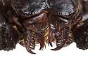Mouthparts of Giant Forest Scorpion (Heterometrus sp.). Museum specimen, originating from Southeast Asia. website