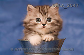 Carl, ANIMALS, photos, grey kitten, can(SWLA2047,#A#) Katzen, gatos