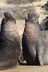 bull elephant seals fight