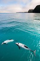Hector's dolphins, Cephalorhynchus hectori, Akaroa, Banks Peninsula, South Island, New Zealand (South Pacific Ocean)