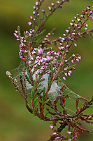 Dornfinger, Dornfinger-Spinne, Dornfingerspinne, Heide-Sackspinne, Gespinst, Cheiracanthium erraticum, two-clawed hunting spider, Dornfingerspinnen, Eutichuridae, Cheiracanthiidae