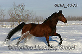 Bob, ANIMALS, REALISTISCHE TIERE, ANIMALES REALISTICOS, horses, photos+++++,GBLA4383,#a#, EVERYDAY