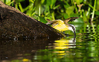 This Great Kiskadee (Pitangus sulphuratus) waited patiently in a nearby tree while a Giant Otter devoured a large fish.  Once the otter moved on, the bird picked up a few scales and scraps from this spot.  The Pantanal, Brazil.