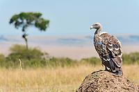 Rüppell's Vulture (Gyps rueppellii), Maasai Mara, Kenya, Africa