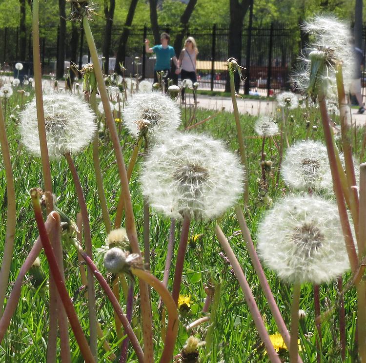 Chicago Scenes - Spring -  Dandelions in bloom at Milton Lee Olive Park, on the banks of Lake Michigan. (DePaul University/Jamie Moncrief)