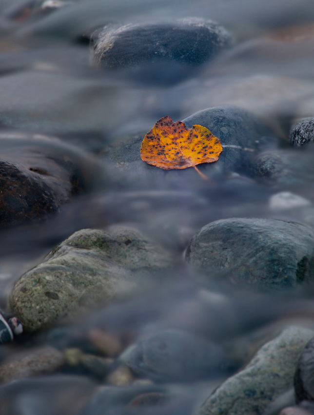 Autumn leaf in a tributary of the Matanuska River, Alaska.