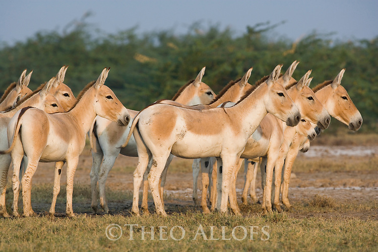Herd of Indian wild asses (Equus hemionus khur) feeding on salt resistant plants in clay pan, dry season