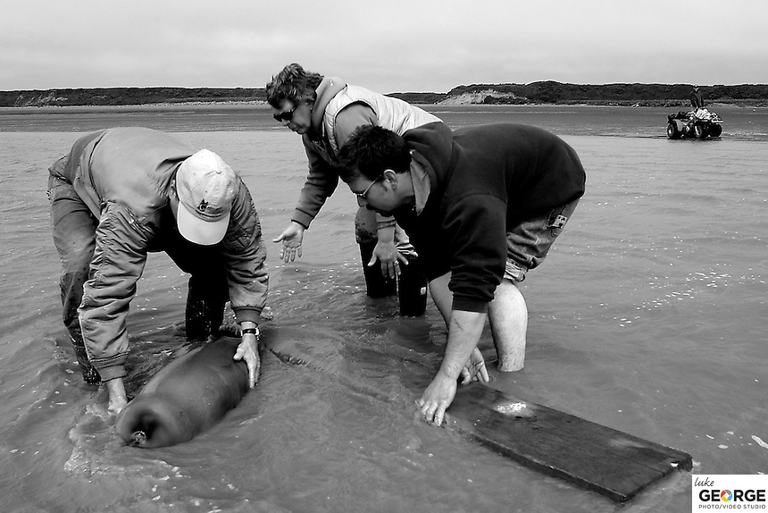 Releasing the baby Beluga whale into Nushagak Bay.  Though disoriented and circling, the whale eventually found it's bearing and headed out to hopefully find it's mother.