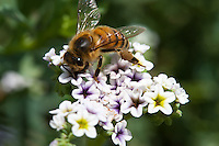 A honeybee (_Apis mellifera_) forager sticks her antennae and forelegs into a small purple and white flower at Crystal Cove State Park.  The bee's pollen basket (corbicula) on her hind legs are stuffed full with tan pollen.