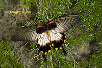 LE45-529z Great Mormon Swallowtail Butterfly, Papilio memnon, Southeast Asia