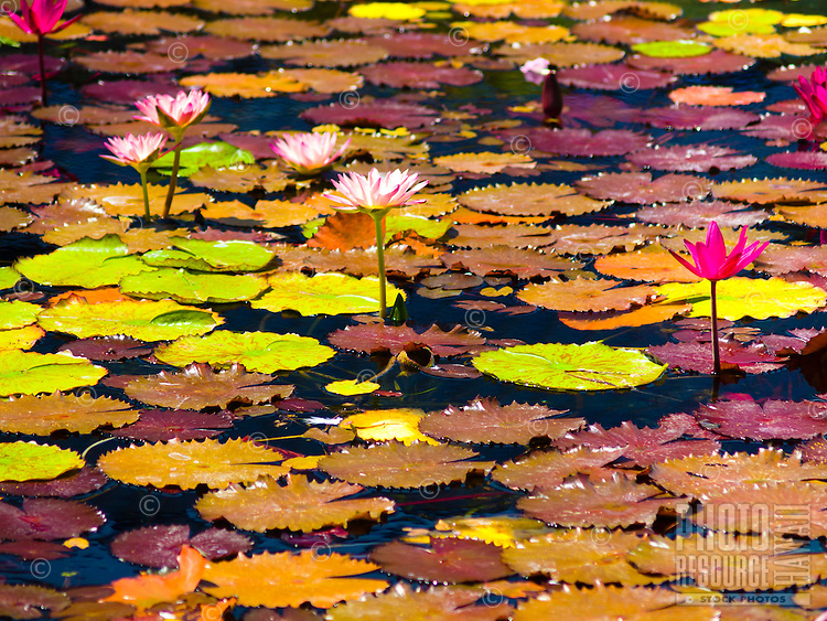 Water lily flowers amongst a pond filled with lily pads, Waikoloa, Big Island.