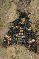 Totenkopfschwärmer, Totenkopf-Schwärmer, Acherontia atropos, Death's-head Hawk moth, Le Sphinx tête de mort, Schwärmer, Sphingidae, hawkmoths, hawk moths, sphinx moths, sphinx moth, hawk-moths, hawkmoth