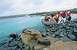 male sea lion in front ot Santa Cruz cruise boat<br /> debarquement a cote des otaries sur l ile Isabela