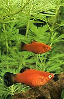 Wagtail-Platy, Platy, Spiegelkärpfling, Xiphophorus maculatus, southern platyfish, common platy, moonfish, platies, Lebendgebärende Zahnkarpfen