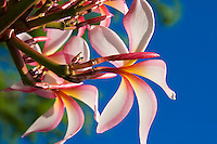 Plumeria,or frangipani, are related to oleander.  They are commonly used to make leis in Hawaii. The Hawaiian varieties grow on trees with odd,tuberous branches.<br /> <br /> Canon EOS 5D, 24-105L lens