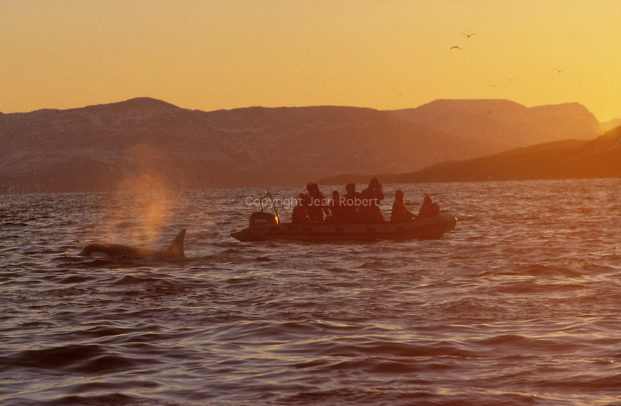 .Each november, hundreds of orcas (killer whales) enter the tysfjord, 200 km south of Narvik, hunting herrings. They stay all the winter in these cold waters. I'ts the only place in the wolrd where its possible to swim with them. Tysfjord.  90 km south of Narwik. Norway...
