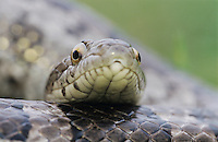 Great Plains Rat Snake, Elaphe guttata emoryi, adult, Lake Corpus Christi, Texas, USA, April 2003