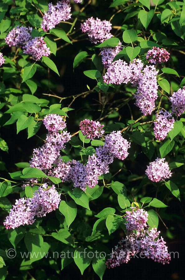 Garten-Flieder, Flieder, Syringa vulgaris, Common Lilac, French Lilac