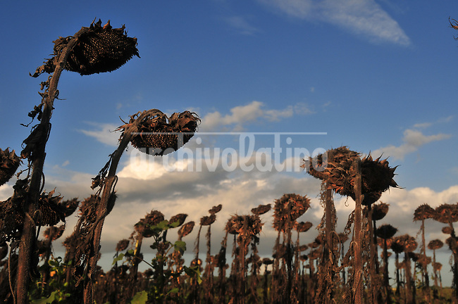 Sunflower harvest  in a farm near Ines Indart, Buenos Aires province, Argentina, Tuesday 10, 2009...