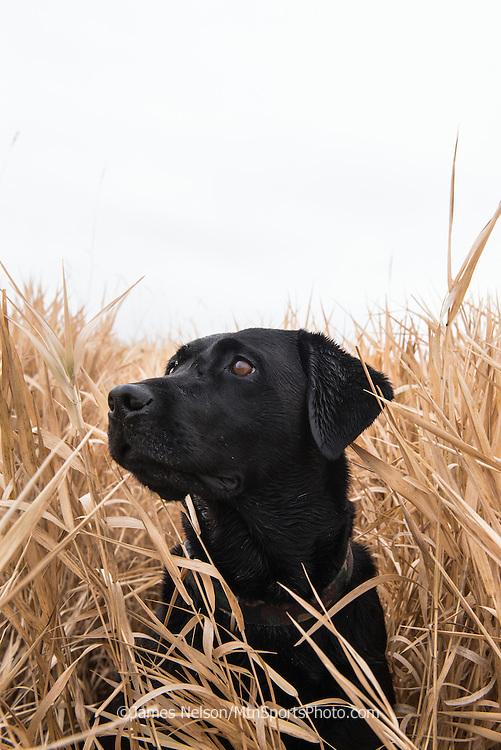 A black Labrador retriever watches as incoming ducks circle the decoys during a  waterfowl hunt in southeastern Idaho.