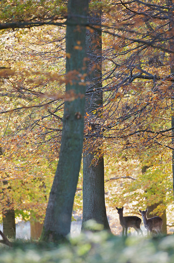 Fallow Deer (Dama dama), Klampenborg Dyrehave, Denmark. Fenced reserve enclosure.