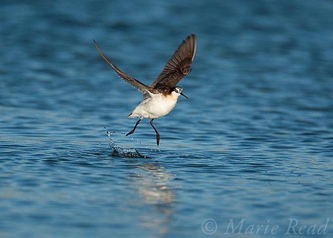 Wilson's Phalarope (Phalaropus tricolor) taking flight from water, Mono Lake, California, USA