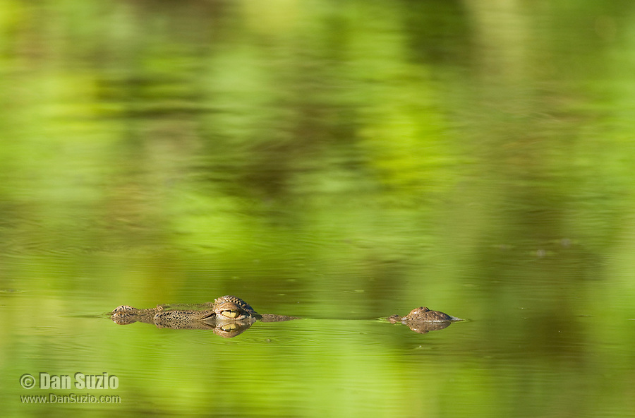 American crocodile, Crocodylus acutus. Carara National Park, Costa Rica