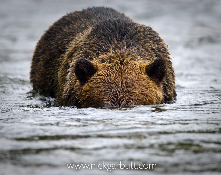 Male (boar) Grizzly Bear (Ursus arctos horribilis), fishing for salmon. Atnarko River, Tweedsmuir Park, British Columbia, Canada
