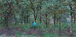 LIEREN - zoeken naar de bal. Moelijke ligging in de struiken. Golf- en Businessclub De Scherpenbergh. COPYRIGHT KOEN SUYK