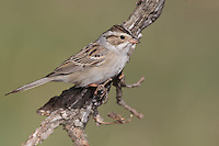Clay-colored Sparrow - Spizella pallida - breeding adult