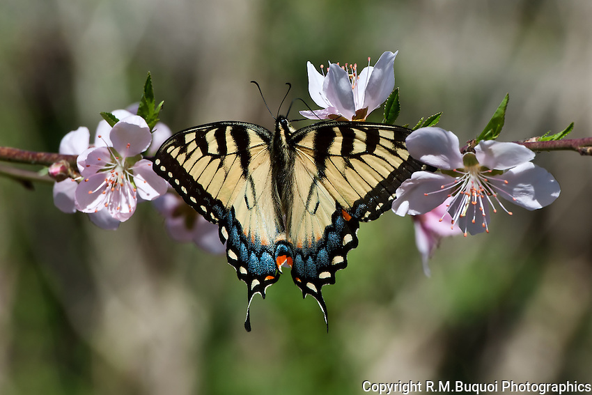Tiger Swallowtail butterfly on peach blossom