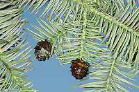 Chinese Fir Cunninghamia lanceolata (Taxodiaceae) HEIGHT to 25m. Broadly conical evergreen conifer with foliage recalling Monkey-puzzle (see p.34). BARK Reddish-brown, ridged with age. LEAVES Narrow strap-shaped, pointed and up to 6cm long; glossy green with 2 white bands below. Dead foliage persists inside crown; looks bright orange in sunlight. REPRODUCTIVE PARTS Male and female flowers are yellowish; in clusters at shoot tips. Cones rounded, scaly, 3-4cm across, green ripening brown. STATUS AND DISTRIBUTION Native of China; planted here in large gardens, mainly in south and west.