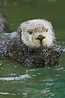 Sea Otter (Enhydra lutris) stretching after sleeping/resting.