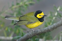Hooded Warbler (Wilsonia citrina) - Male, Fort Desoto Park, near St. Petersburg, Florida