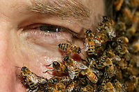 To impress crowds, some beekeepers will wear an impressive bee beard. There is a trick. The apiculturist places a cage containing a queen around his neck. Bees will naturally flock to protect her. They are in swarming conditions hence totally harmless...