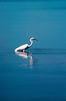 Heron fishing in shallow water.