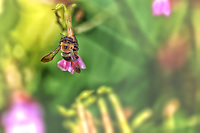 A bee visits a flower in the ongoing pollinating process.