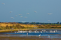 Spoonbills and herons, Ars en Re, Ile de Re, France