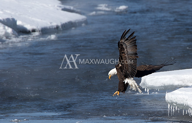 A bald eagle hops onto a fish in the Lamar River.