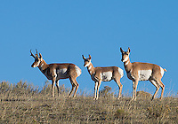 A trio of pronghorns stays alert.