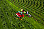 Pictured: A harvester collects blackcurrants from the new climate-resiliant 'Ben Lawes' crop during the annual UK blackcurrant harvest that produces around 10,000 tonnes of blackcurrants for Ribena.<br /> <br /> For the first time ever a ground-breaking new crop of berries that have been bred to cope with Britain's changing climate named 'Ben Lawes' are being harvested at Whittern Farm in Lyonshall, Herefordshire.<br /> <br /> In partnership with Ribena Lucozade Suntory, 20 years of research has gone into growing these new crop of berries that can withstand the ever changing UK temperatures. <br /> <br /> © Solent News & Photo Agency<br /> UK +44 (0) 2380 458800
