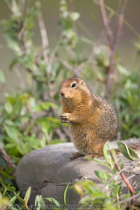 Arctic ground squirrel, Denali National Park, Interior, Alaska.