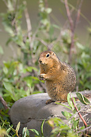 Arctic ground squirrel, Denali National Park, Interior, Alaska.
