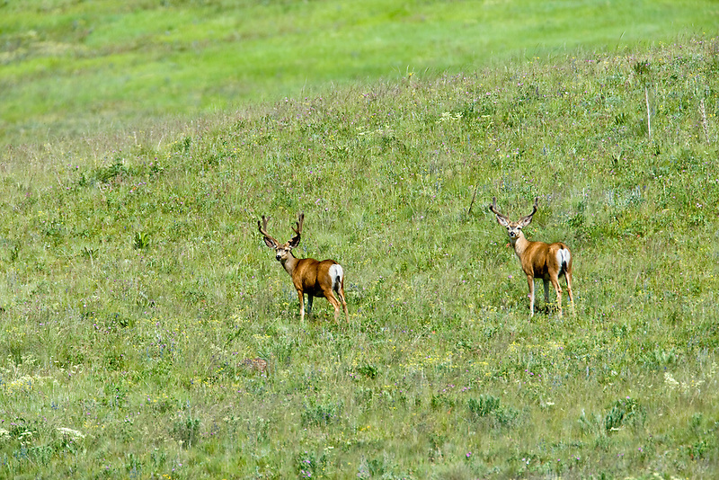 Two male deer on Zumwalt Prairie, Oregon