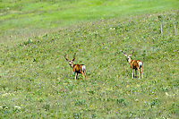 Two male deer on Zumwalt Prairie, Oregon