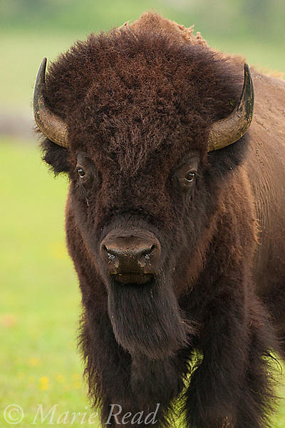 Bison (Buffalo) (Bison bison), male closeup, Wichita Mountains National Wildlife Refuge, Oklahoma, USA
